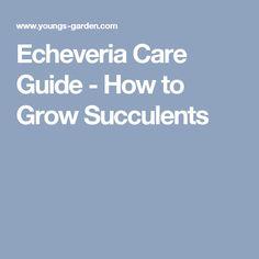 Echeveria Care Guide - How to Grow Succulents