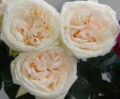 White O'Hara Garden Rose with that lovely blush