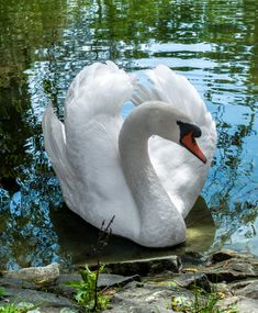 Houseplants for Better Sleep Swan By On Beautiful Swan, Beautiful Birds, Animals Beautiful, Cygnus Olor, Animals And Pets, Cute Animals, Mute Swan, Swan Lake, Little Birds