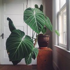 Gloriosum philodendron, I need not say more! ❤️// photo by @aleajoy // #plantlover #philodendron #plantsofinstagram #plantgoals #plantstyling