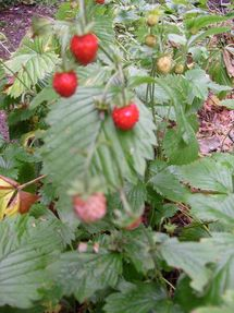 Wild strawberries have such an intense flavor - Great for jam and jellies!