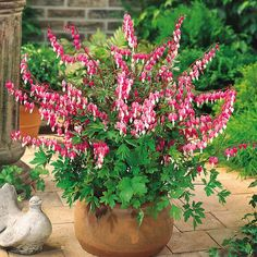 Shop Dicentra Spectabilis Plants at J Parker's. Commonly known as Lamprocapnos or Bleeding Heart. Top quality loose roots supplied. Buy online in the UK.