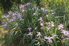 Iris douglasiana. Drought-hardy west coast native. Good evergreen foliage, flowers in blues, purples, white, cream.