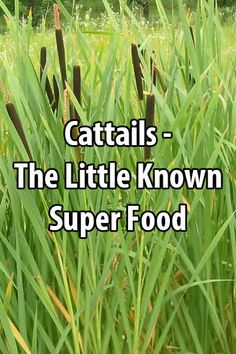 It's amazing how few people realize what a great source of food cattails are. Just about every city in the world has them.