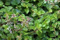Plectranthus verticillatus (Money Plant)