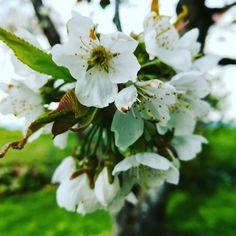 So schöne Kirschblüten und dann kam der Wurm #kirschbaum #kirschblüten