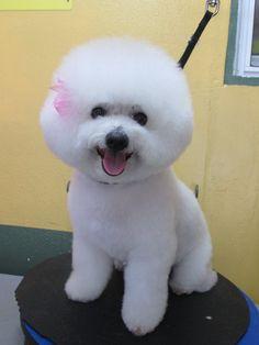 Hi,I am a Bichon Frise. I love my afro hair. Isn't beautiful ?