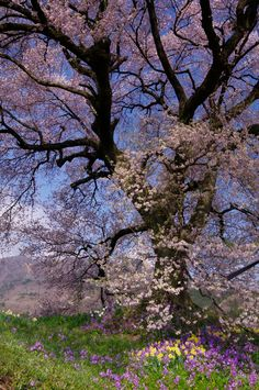 "studioview: "" (via 500px / cherry blossoms by Kamizuru Atsushi) """