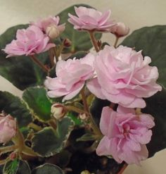 African violet Cajun's Roses Anyone live plant in pot
