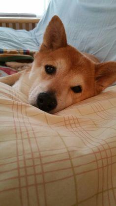My favorite pillow...  Spoiled Shiba Inu