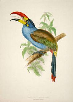 John Gould bird