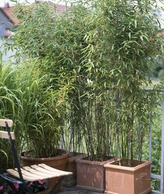 Bamboo as a privacy screen- Bambus als Sichtschutz Bamboo is not only a very effective privacy protection plant, it also provides Far Eastern flair on the balcony. Privacy Screen Plants, Patio Privacy, Patio Table, Backyard Patio, Pergola Patio, Indoor Plants, Indoor Outdoor, Patio Plants, Outdoor Living