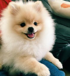 Super happy pomeranian puppy! #Pomeranian