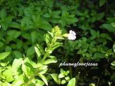 nice Ma-om , Rice Paddy herb ,  Limnophila aromatica  ....Cây rau Ngò Om tại West Virginia....#2 / http://www.everydaygardening.net/ma-om-rice-paddy-herb-limnophila-aromatica-cay-rau-ngo-om-tai-west-virginia-2/