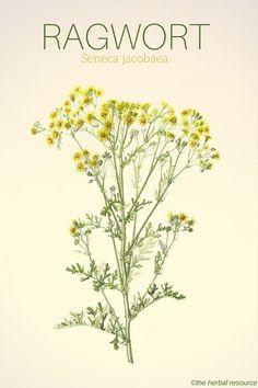 Senecio jacobaea, Common Name: Common ragwort, Artist: Laura Silburn Herbal Plants, Medicinal Plants, Healing Herbs, Natural Healing, Natural Oil, Holistic Healing, Natural Beauty, Natural Health Remedies, Herbal Remedies