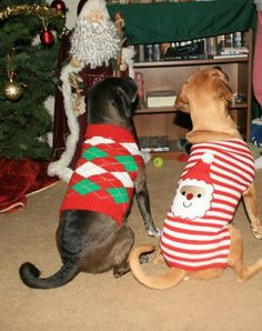 Puggles in their Christmas sweaters!