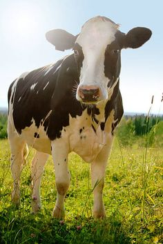 Idyllic agriculture photo of cow (holstein cattle) on farm meadow stock photo - ANIMAL PHOTOGRAPHY Cow Photos, Cow Pictures, Cute Animal Pictures, Cow Pics, Agriculture Photos, Animal Agriculture, Farm Animals, Cute Animals, Holstein Cows