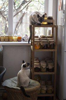 Γάτα, Ταϊλάνδης Γάτα, Μέλι