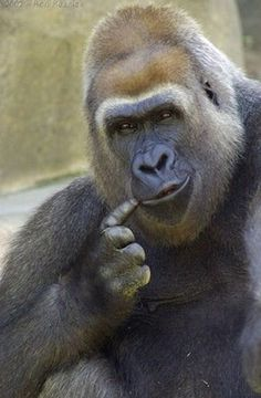 Silverback Gorilla Strength - Hmmmm, I think it's this tooth. Animals Of The World, Animals And Pets, Funny Animals, Cute Animals, Primates, Silverback Gorilla Strength, Beautiful Creatures, Animals Beautiful, Regard Animal