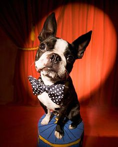 cute little boston terrier with a bowtie :)
