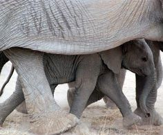 "An Elephant Calf ~ ""Under Mom's Protective Care."" (She ensures her Calf's safety, by protecting him from a very dangerous environment.)"