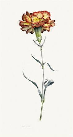 Allwood's carnation I, 1962. To this day, McEwen is still the only botanical    artist to have been given a solo exhibition at the Serpentine Gallery, in    1988. Watercolour on vellum.