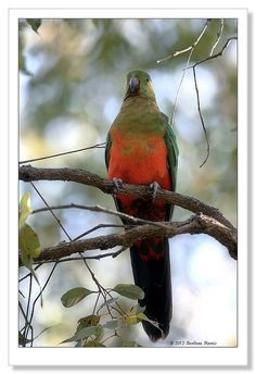 Female King Parrot-0079