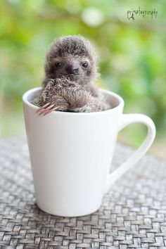 baby sloth Wildlife conservationist and photographer Sam Trull offers an intimate (and downright adorable) look at what it's like to hang out with sloths all day. Cute Baby Sloths, Cute Sloth, Baby Otters, Cute Funny Animals, Cute Baby Animals, Farm Animals, Amor Animal, Tier Fotos, My Spirit Animal