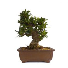 Acheter en Ligne ce Bonsai très rare Shohin Gardenia Jasminoide de 21 cm 140303 chez Sankaly Bonsaï, Vente de Bonsaï et accessoires