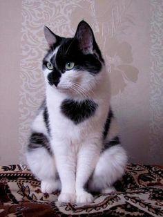 gattini bianchi e neri - Cerca con Google