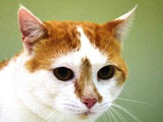 TO **FRIENDLY BOY LEFT IN CARRIER OUTSIDE** BE DESTROYED 01/02/15 JULIUS was very vocal upon intake. He ate the wet food provided to him. He was easy to handle and allowed to be collared, scanned (negative), transferred, & pictured. ID #A1023539. Male orange & white about 2 YEARS old. STRAY https://www.facebook.com/nycurgentcats/photos/a.927593347258653.1073742552.220724831278845/927593527258635/?type=3&theater