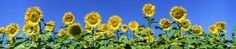 Sunflowers Panoramic Picture. check out this beautiful panorama and more by visiting panoramicpanorama.com Panoramic Pictures, Projects To Try, Around The Worlds, Seasons, Sunflowers, Nature, Plants, Poster, Beautiful