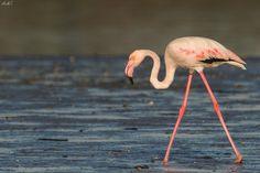 Flamingo-comum (Phoenicopterus ruber)