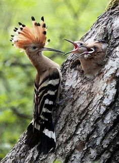 Hoopoe feeding baby chicks