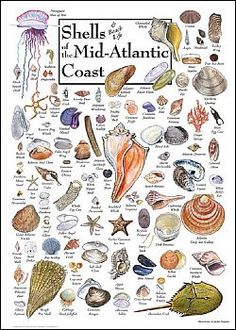 shell I.D. chart this pinned is a prolific one who pins beautiful images of botanical art to this board, check it out if you are looking for some inspirational images of birds, whales, butterflies plants etc!
