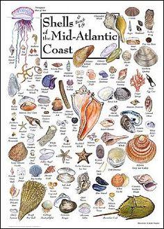 Shells of the Mid-Atlantic Coast Poster