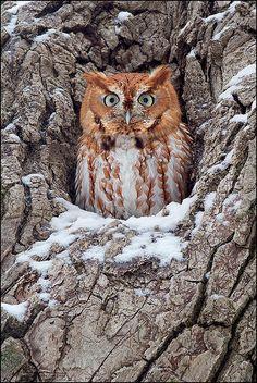 Amazing wildlife - Eastern Screech Owl photo #owls