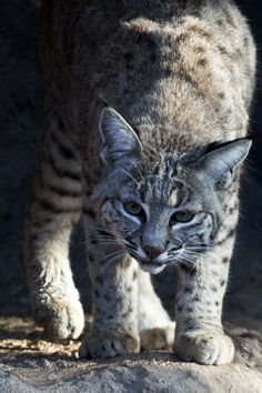 Bobcat -- image by Florence McGinn, taken in Arizona  -- Love both nature and photography?  Then, go photograph at the Arizona-Sonora Desert Museum!  Stop in the Cat Canyon area for the chance to photograph bobcats!  Learn more at http://www.examiner.com/article/go-photograph-at-arizona-sonora-desert-museum