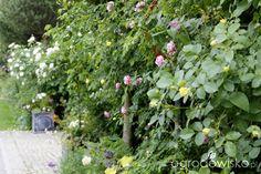 Ogród nie tylko bukszpanowy - część III - strona 603 - Forum ogrodnicze - Ogrodowisko