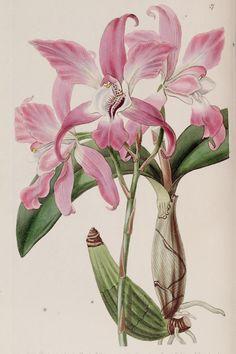 Edwards's botanical register. Biodiversity Heritage Library