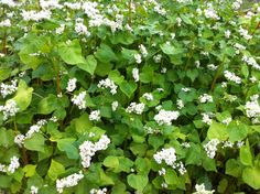 buckwheat green manure   Growing Cover Crop and Green Manure with BuckwheatThe Campus Community ...