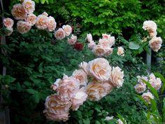 'Apricot Nectar' Rose Photo