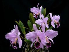 Cattleya Percivaliana Orchid