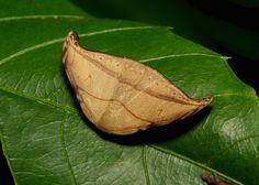 Hooktip Moth (Nordstromia sp., Drepaninae, Drepanidae)
