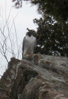 Peregrine Falcon taken at Sleeping Giant State Park, Hamden, CT (03/07/14). Photo from Tom Granucci.
