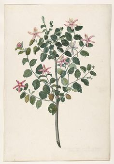 Maria Monninckx | Study of a Plant with Red-Purple Flowers, 1695 (Sebastiana africana purpurea) | The Met
