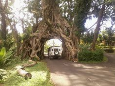 Bunut bolong tree, Bali Indonesia ~ The tree has roots on either side of a stretch of road, forming an archway that visitors can drive through. Brides and grooms are advised to refrain from passing through this way, though – legend has it that those who do will end up separated.