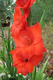 Gladiolus, tarhamiekkalilja, Gladiolus-risteymiä / storblommig gladiol