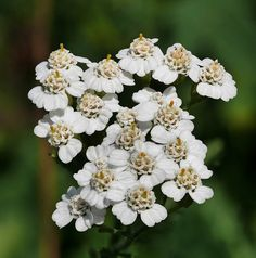 Yarrow is a flowering plant from the  Asteraceae family. It is native to regions with temperate climates such as Europe, Asia, and North America.