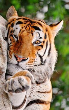 Gorgeous tiger